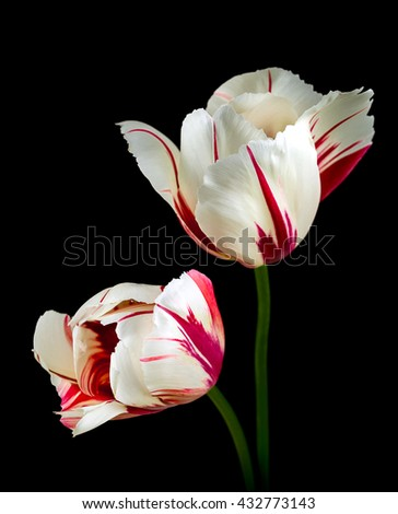 Two pink tulips isolated on black background - stock photo