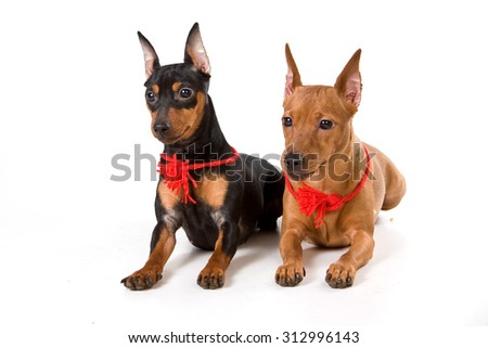 Two pinscher (isolated on white) - stock photo