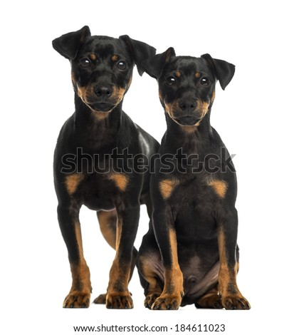 Two Pinscher sitting, standing and looking at the camera - stock photo
