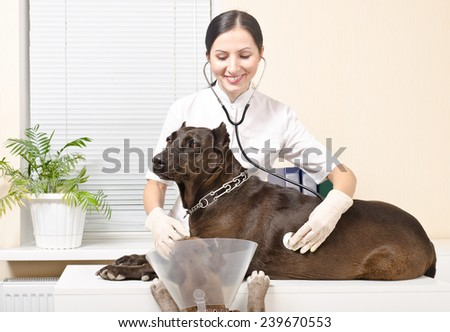 Two pitbull at a reception at the vet - stock photo