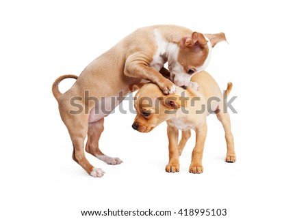 Two playful Chihuahua crossbreed puppies. One is aggressive and one is shy. - stock photo