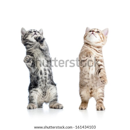 two playful funny kitten isolated on white background - stock photo