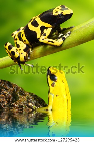 Two poison dart frog in a rainforest. - stock photo
