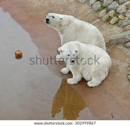 Two polar bears - stock photo