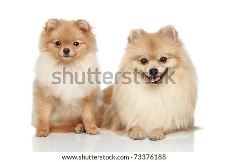 Two Pomeranian Spitz puppy resting on a white background - stock photo