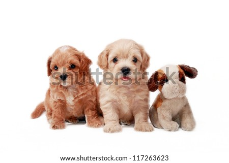 Two Poodle Puppies and toy - stock photo