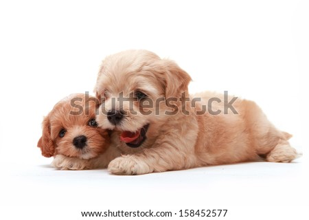Two Poodle Puppies lying on white background - stock photo