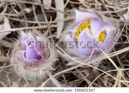 Two prairie crocus buds starting to bloom.  The fuzzy hairs protect them from frost. - stock photo