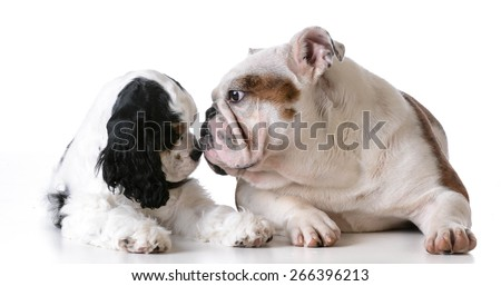 two puppies - american cocker spaniel and english bulldog puppies on white background - stock photo
