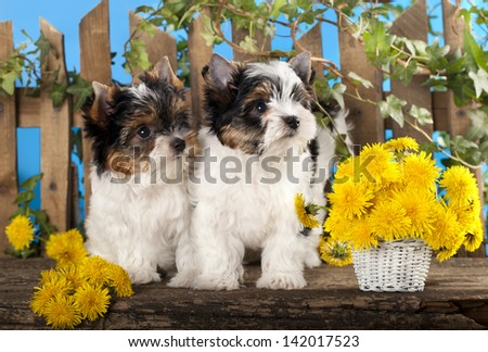 Two puppies and flowers dandelions, Beaver Yorkshire Terrier - stock photo