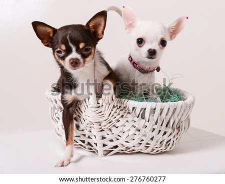 two puppies Chihuahua sitting in a white basket - stock photo