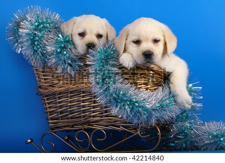Two puppies in a basket with a New Year's tinsel. - stock photo