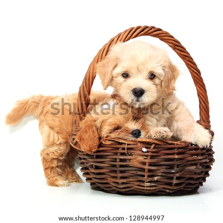 Two puppies in basket on white background - stock photo