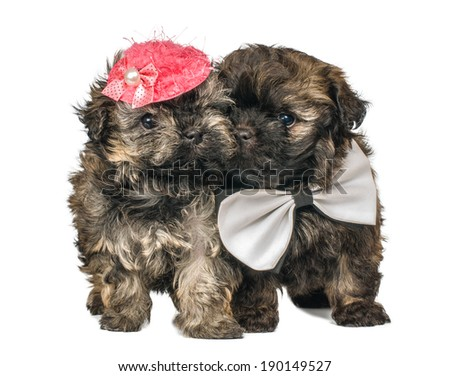 Two puppies in studio on a neutral background - stock photo