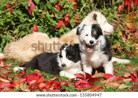Two puppies of border collie in red leaves - stock photo