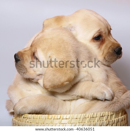 Two puppies of breed Labrador a retriever in a basket. - stock photo