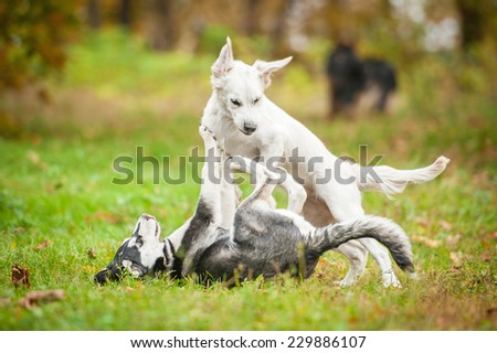 Two puppies playing in autumn - stock photo