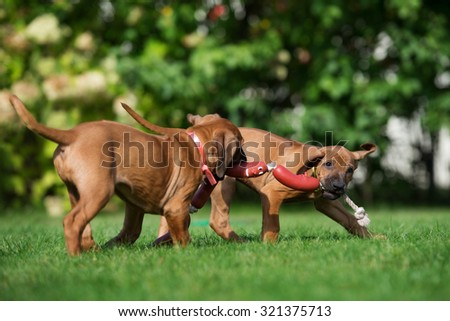 two puppies playing on grass - stock photo