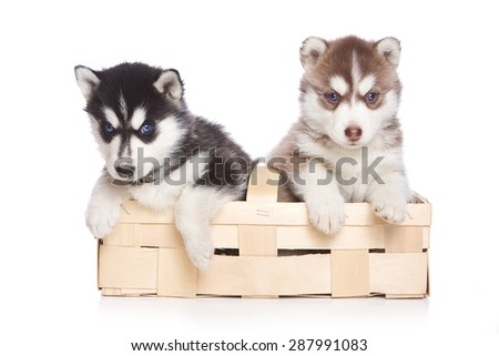 Two puppies Siberian Husky sitting in a box paws hanging out and looking at the camera (isolated on white) - stock photo