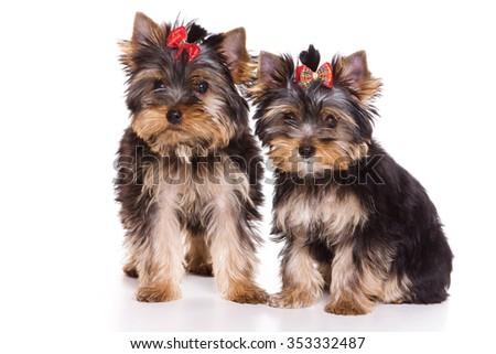 Two puppies Yorkshire terrier looking at the camera (isolated on white) - stock photo