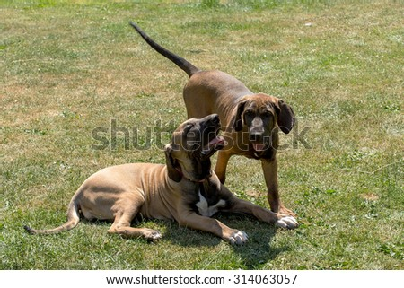 two puppy of Fila Brasileiro playing(Brazilian Mastiff) outdoor on green grass - stock photo