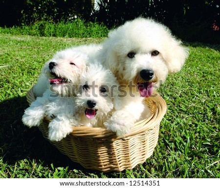 Two purebreed bichon frise puppies with their mother - stock photo