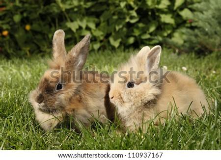 Two rabbits bunnies - stock photo