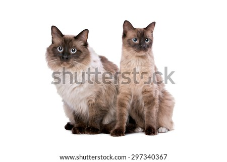 Two Ragdoll cats in front of a white background - stock photo