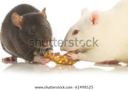 two rat isolated - stock photo