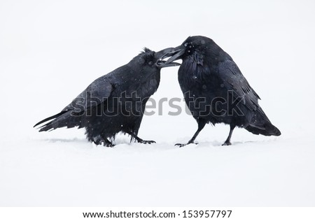 Two ravens in winter during a snowfall - stock photo