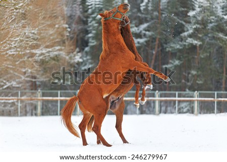 Two rearing horses in winter landscape. - stock photo