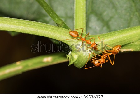 Two red ants claiming at ivy gourd - stock photo