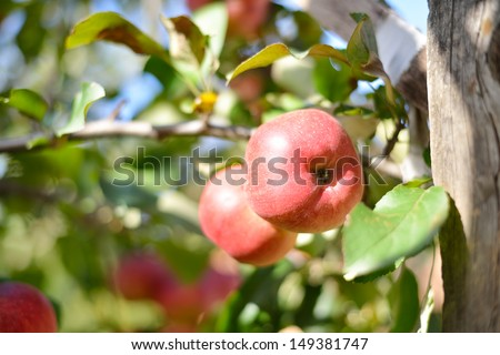 Two red apples on apple tree branch - stock photo