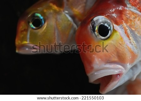 Two red fish seems to have something to say - stock photo