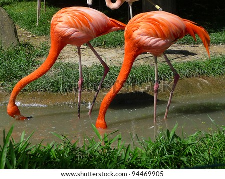 Two red flamingos Two red flamingos are searching feed in the water. - stock photo