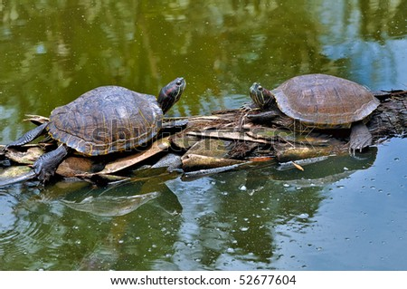 Two Red footed Tortoise, on log in the water - stock photo