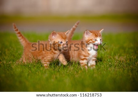 two red kittens playing outdoors - stock photo