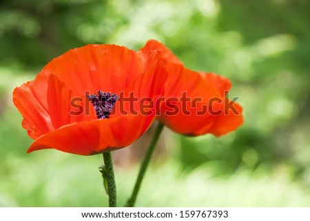 two red poppy flowers with green natural background - stock photo