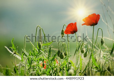 Two Red Poppy Summer Flowers Over Sunny Sky - stock photo
