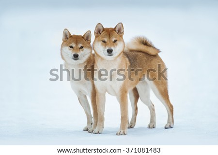 two red siba inu dogs standing on the snow - stock photo