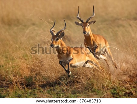 Two reddish-brown antelope Kobus kob thomasi -- Uganda kob, territorial male in mating season chasing a second male in their typical environment, dry brown blurred savanna in Murchison Falls,Uganda.. - stock photo