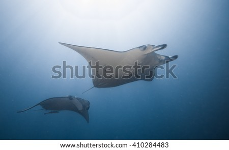 Two reef manta rays, Manta birostris, on a cleaning station  - stock photo