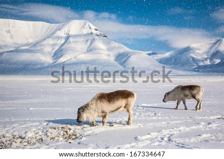 Two rein deers on the wintry landscape, Arctic North Pole, Svalbard.  - stock photo