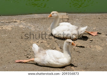 Two relaxing baby duck - stock photo
