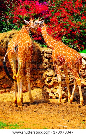 Two Reticulated Giraffes  - stock photo