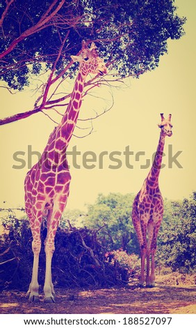 Two Reticulated Giraffes  Near the Tree, Instagram Effect - stock photo