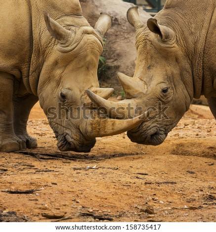Two Rhino Locking Horns Close to the Ground - stock photo