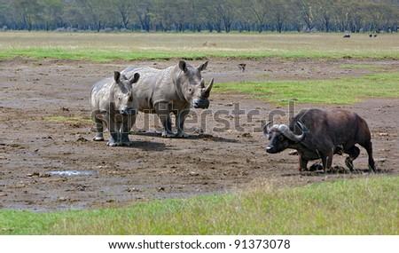 Two rhinoceros and buffalo at Lake Nakuru National Park - Kenya - stock photo