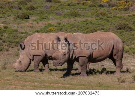 Two Rhinoceros grazing - stock photo