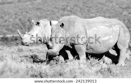 Two rhinoceros in this black and white image. - stock photo